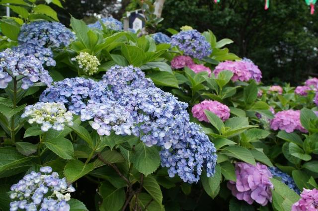 白山神社を彩る紫陽花