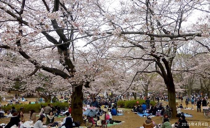 光が丘公園の桜と花見風景