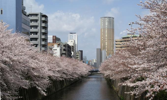目黒川の川沿いの桜