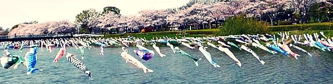 鯉のぼりも花見2