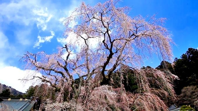 久遠寺のしだれ桜-1