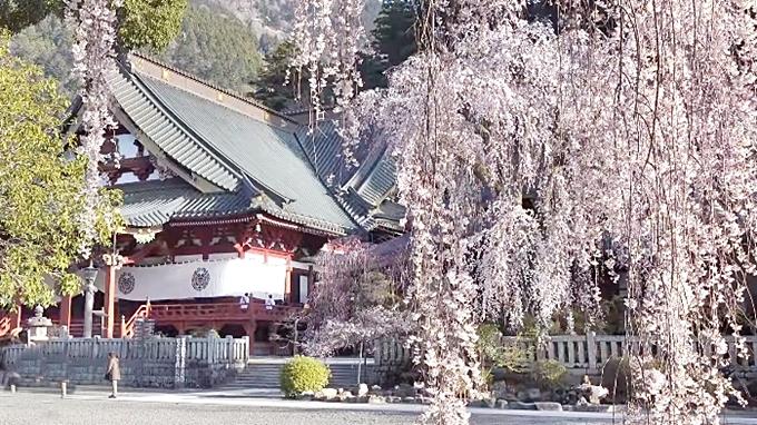 久遠寺のしだれ桜-2